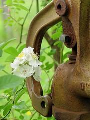 Pump (David Hoffman '41) Tags: flowers home nature water contrast yard handle virginia rust iron natural blossoms pump manmade blooms thorns charlottecourthouse rosamultiflora charlottecounty