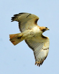 Hawk in flight-best (33Tazz) Tags: tom hawk flight wow1 schoon nikonstunninggallery mygearandme ringexcellence