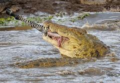 Crocodile Dismembering Zebra, Mara River, Maasai Mara, Kenya