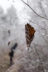 Chercher les petites choses de l'hiver (Fabien Husslein) Tags: col lessy moselle lorraine france metz hiver winter frost givre feuille morte dead leaf bokeh nature