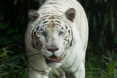 ...and...? (tropicaLiving - Jessy Eykendorp) Tags: wild portrait white animal tiger and endangered siberian eyetoeye ef70300mmf4056isusm canoneos50d tropicaliving jessyce