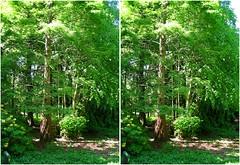Dawn redwood (Dan (aka firrs)) Tags: tree stereoscopic 3d crosseye stereo stereopair metasequoia crossview dawnredwood livingfossil