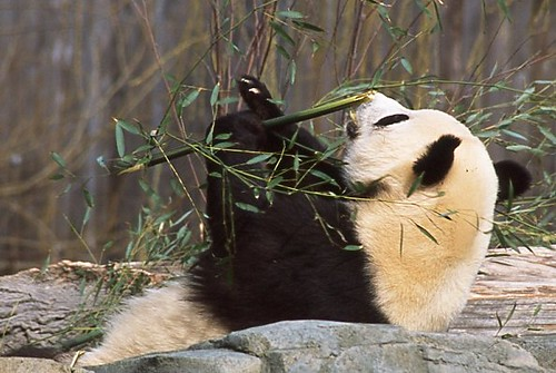 Playful Panda with Bamboo