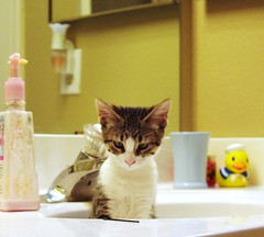 hairpin ? (utski7) Tags: baby cute cat fur kitten sink adorable rubberducky focused hairpin puzzled mog grandbaby sweetbaby catinthesink kittyinherbunker