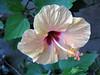 uma flor (Silvianasci) Tags: flor hibisco naturesfinest simno explore2009 silvianasci