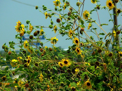 flowers sun2