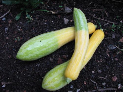 how to grow zephyr summer squash appalachian feet