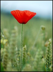 Alone... (Levels Nature) Tags: uk red england flower nature field dof bokeh xx wheat somerset petal poppy westonzoyland fantasticflower
