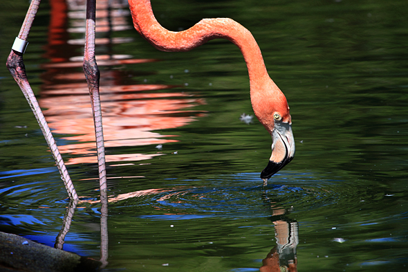 080709_flamingo2