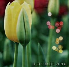Tulips in bokehLand  -EXPLORE- (Gabriela Da Costa) Tags: yellow tulips amarillo hi hola tulipanes ilovebokeh allrightsreserved todoslosderechosreservados bokehland gabrieladacostagomez gabrieladcosta bokehaholic photographercuracao gabrieladcostaphotography wwwgabrieladacostacom gabrieladacostaphotography gabrieladacostafotografa photographerbasedincuracaonetherlandsantillesspecializingineventsportraitsandweddings