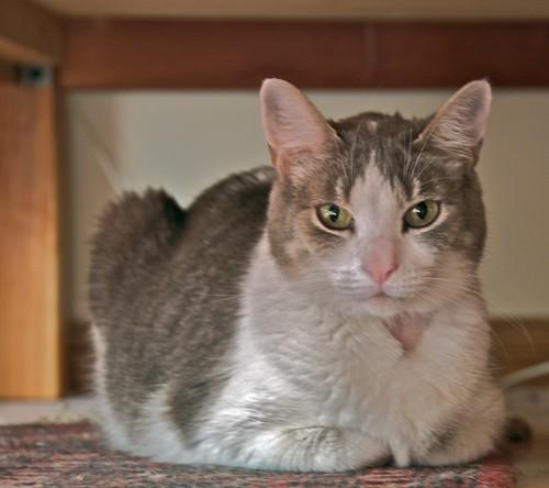 adoptedcat newcat greyandwhitecat catstories