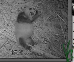 Yowling panda cub