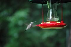 bird flying hummingbird feeding feeder sugarwater