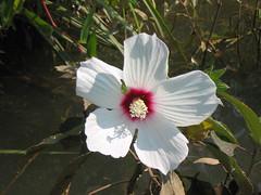 rose mallow (hibiscus)