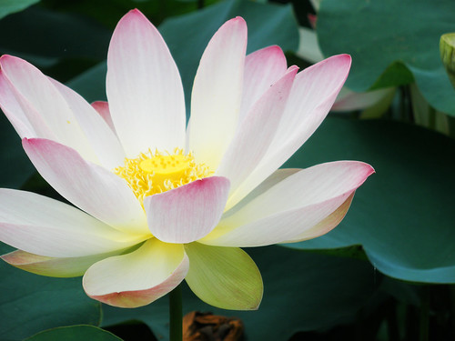 Lotus Blossoms @ Anapji Pond