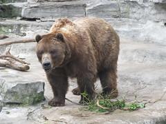 Brown Bear at Buffalo Zoo (William Wilson 1974) Tags: bear brown ny newyork animals fun mammal zoo landscapes big buffalo grizzly brownbear westernnewyork wny buffalozoo grizzlybear