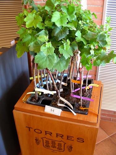Planters de ceps Torres
