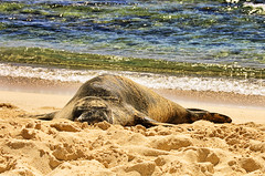 Sunbathing (Owen's Law) Tags: vacation beach water hawaii sand nikon kauai sunbathing 08 topaz suntanning monkseal d40