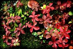 Vibrant Tundra (Whirling Phoenix) Tags: autumn plant fern macro fall nature mushroom leaves closeup alaska photoshop leaf lomo saturated flora nikon seasons unitedstates ps foliage northamerica kenaipeninsula kellogg arrangement enhanced tundra locations naturephotography cs4 123nature d80