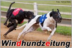 Greyhound Xerxes wird von Pike gejagt ...