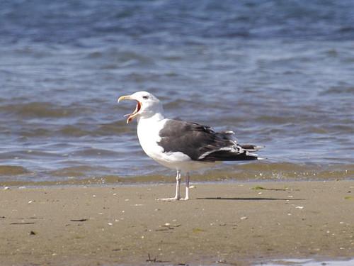 Gull Hollering