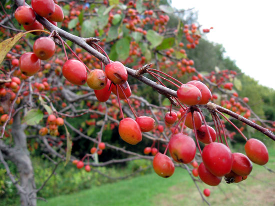 Berries on a Tree (Click to enlarge)