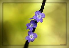 Little Ones (Sherrye's Art) Tags: flowers macro nature canon garden hawaii weeds purple bokeh explore tropical nozaki raynox ilovecolor smoothbokeh canon50d sherrye sherryenozaki allmyimagesarecopyrightprotectedandallrightsarereservednoformofreproductionormanipulationincludingcopyingorsavingasadigitalfileispermitted