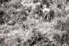 Descente dangereuse (orang_asli) Tags: africa elephant nature animals tanzania mammal nationalpark champs ngorongoro fields elefant vulcano lieux afrique mammifère volcan aficionados faune naturel tanzanie savane parcnational géographie gographie mammifre elephantdafrique