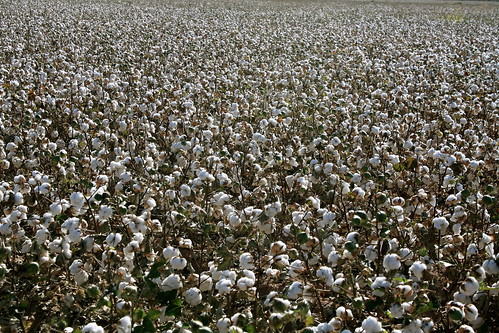 Cotton as Far as the Eye Can See!