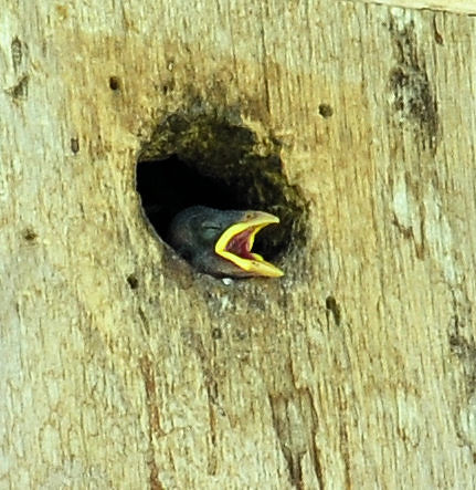 House sparrows-14