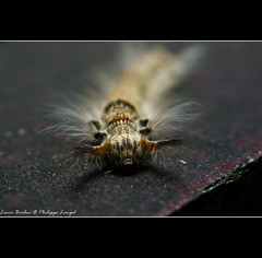 Hairy caterpillar in Borneo (Lucie et Philippe) Tags: voyage trip travel hairy tourism indonesia vacances visit caterpillar jungle sarawak borneo animaux philippe chenille malaisie poilu indonsie langel poilue mywinners beautifulmonsters