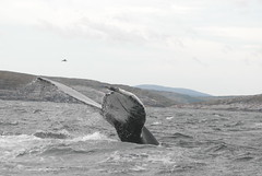 09 02 09_Southern l_0014 (Mark R. Tsang) Tags: whales humpback battleharbour megapteranovaealngliae labradornewfoundlandandlabradorlabradornottobeusedwithoutmypermission markrtsang markincb markrtsangphotography copyrightmarkrtsang nottobeusedorcopiedwithoutmypermission