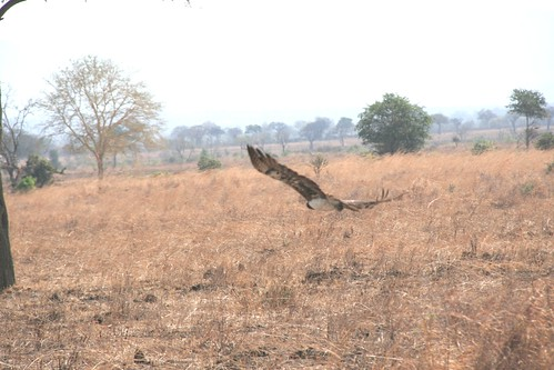 Martial Eagle attacking young Impala - 9 - Mikumi NP, Tanzania