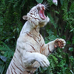 White Tiger (Gary's Photos!!) Tags: nature animal canon photography eos photo singapore asia foto wildlife tiger bigcat panther tigris whitetiger singaporezoo bengaltiger 50d garywilson 70300do