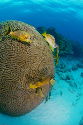 The Big Brain Coral at Snapper Ledge