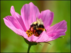 Flower with bumble bee (sara-maria) Tags: pink plant flower macro nature insect blossom natur pflanze rosa bumblebee blume makro blte insekt cosmos hummel cosmea schmuckkrbchen cosmosbipinnatus kosmee kosmea natureselegantshots