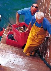 Landing fresh Lobsters