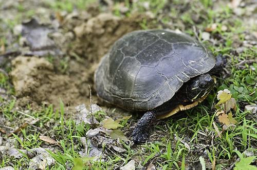 wmama_turtle_2