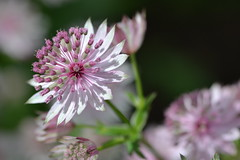 ASTRANTIA major 'Jitse'