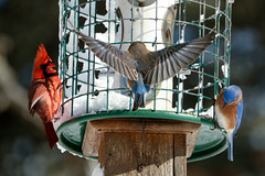 20170210-Blizzard (ChathamGardens) Tags: bluebird capecod chathamgardens cardinal blizzard birds snow chathamma