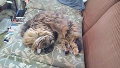 Cat is sleeping (Kanda Mori) Tags: wildcat catus cats felis house cat publication domestic panthera pardus 猫 ねこ ペット 動物 かわいい