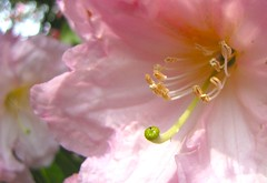 Another Rhodo Macro