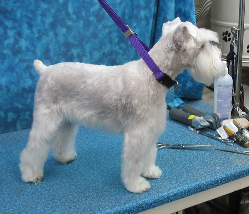 BBird's GroomBlog: PET SCHNAUZER GROOMING IN TUCSON