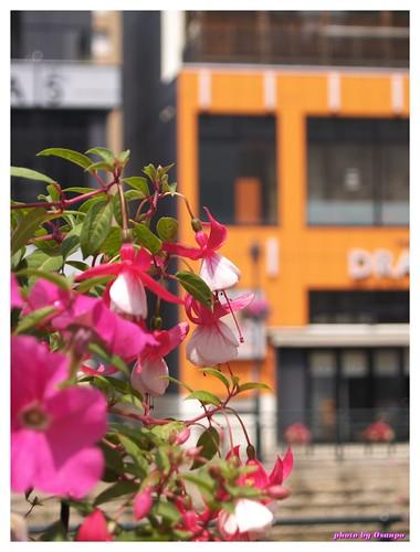 Horikawa Flower Festival 20090327 #03