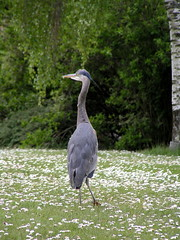 heron (j.shirrill) Tags: vancouver coalharbour may2009