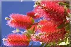 ...rivelazione... (cb.almostblue) Tags: red primavera canon fiore rosso distillery maila giardino top20colorpix fantasticflower flickraward paololivornosfriends speranzacondivisabacio unabbraccioinpiù