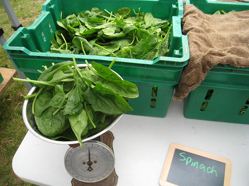 Week 1 gathering Spinach