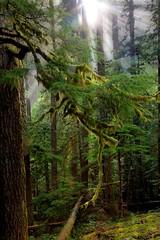 IMG_1068  trees (tod_hall) Tags: trees green nature moss rainforest hiking roadtrip sunbeam olympichotsprings