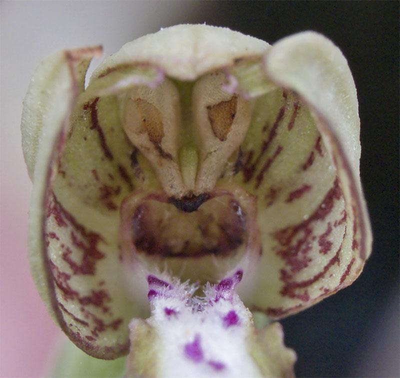 Himantoglossum hircinum (sous le casque) 3644435641_7856062c4e_o