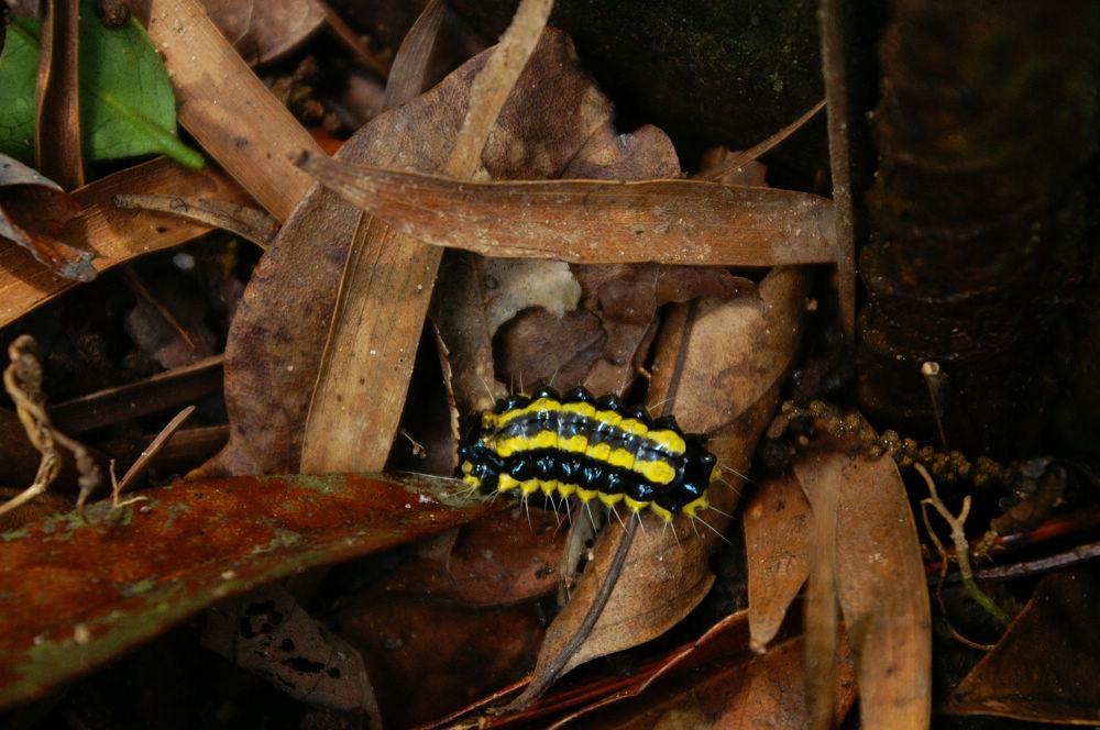 大崙頭尾084 黃黑毛蟲